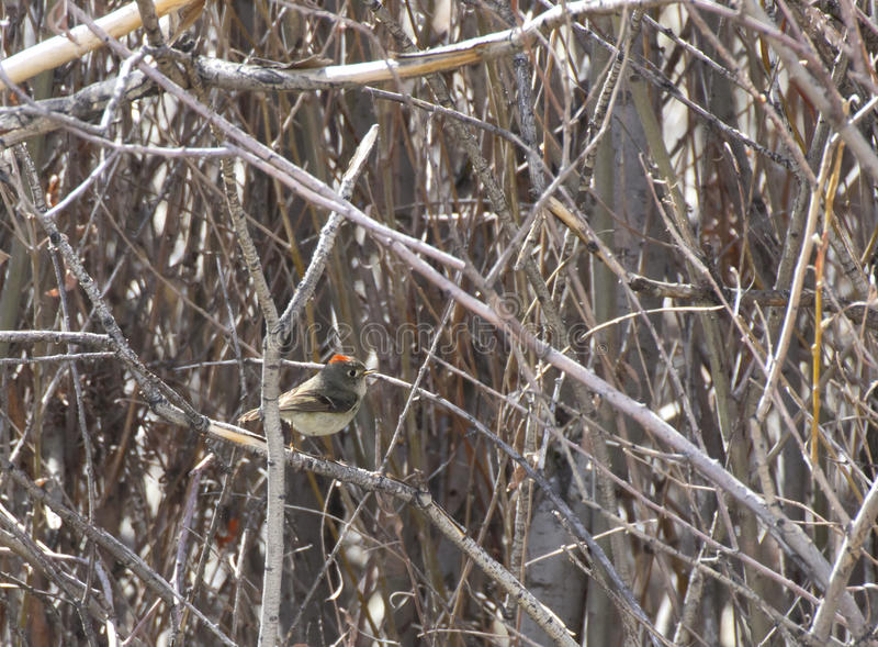 Download Ruby-crowned Kinglet Bird Flashing Color Stock Image - Image: 30328633