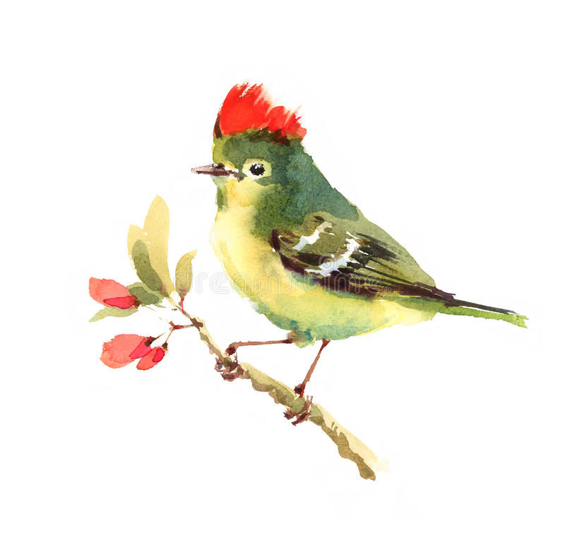 Ruby-crowned Kinglet Bird Watercolor Illustration Hand Painted isolated on white background. Watercolor illustration of Ruby-crowned Kinglet sitting on the royalty free illustration