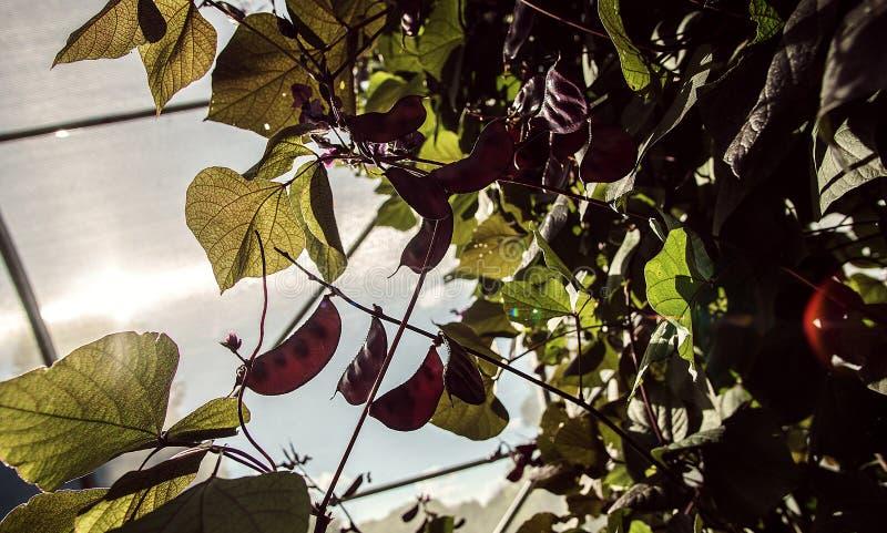 Ruby Moon Hyacinth Beans In un invernadero imágenes de archivo libres de regalías