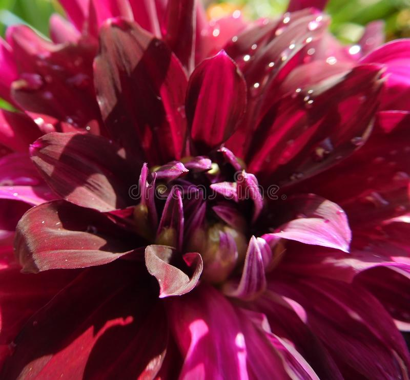 Ruby red dahlia flower with water drops on the petals close-up royalty free stock photo