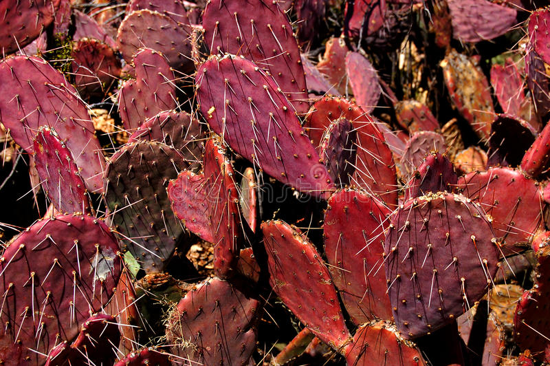Ruby Red Prickly Pear Cactus stock photos