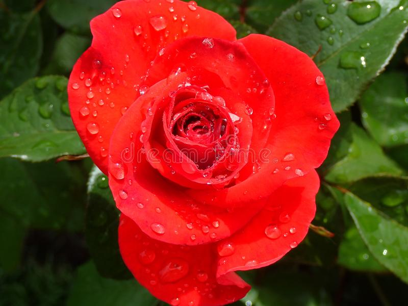 A Ruby Red Rose stock photos