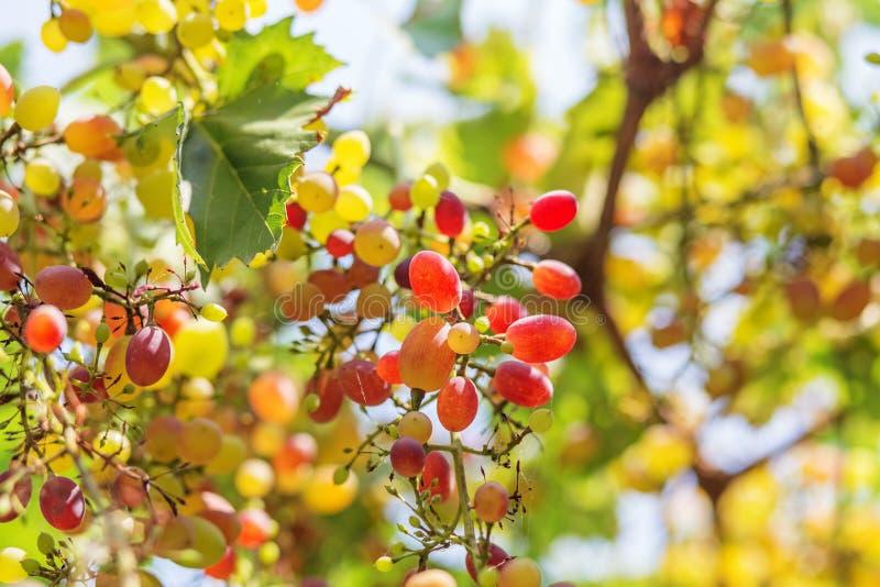 Ruby Seedless Grape royaltyfria bilder