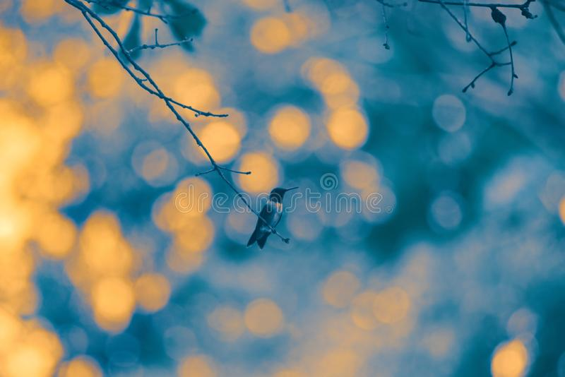 Ruby Throated Humming Bird Against a Dark Background royalty free stock photography