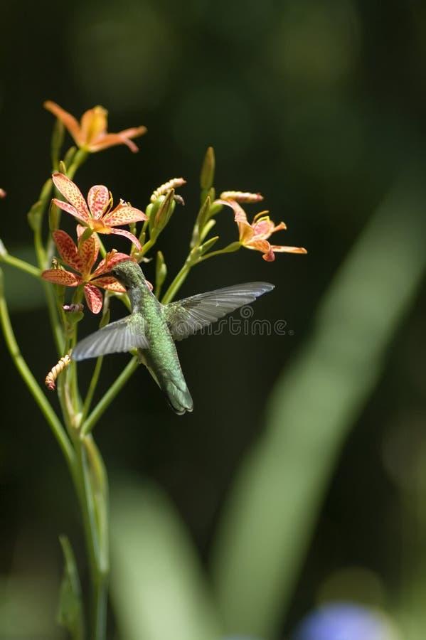 Ruby Throated Hummingbird royalty free stock image