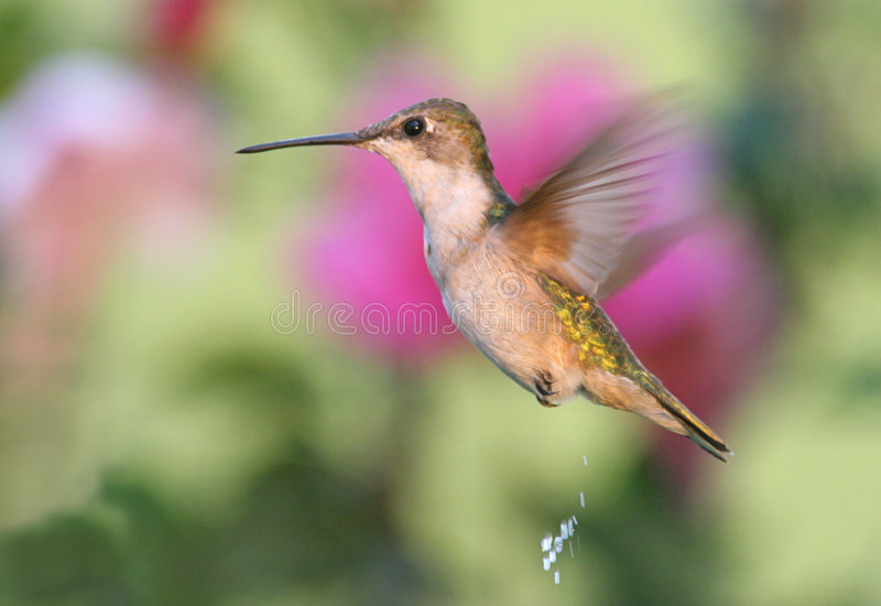 Download Ruby-throated Hummingbird stock image. Image of birds - 3307797