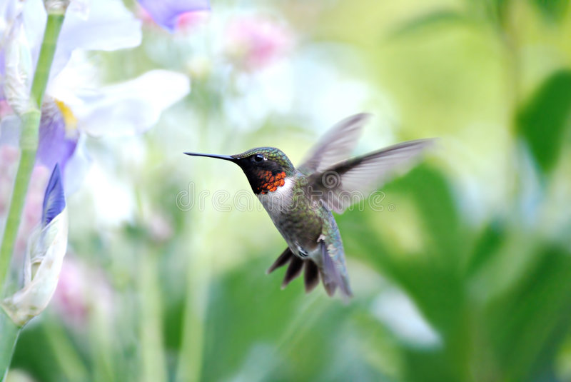 Ruby Throated HummingBird. Ruby throated humming bird hovering in mid flight. Shallow dof flowers in background royalty free stock photo