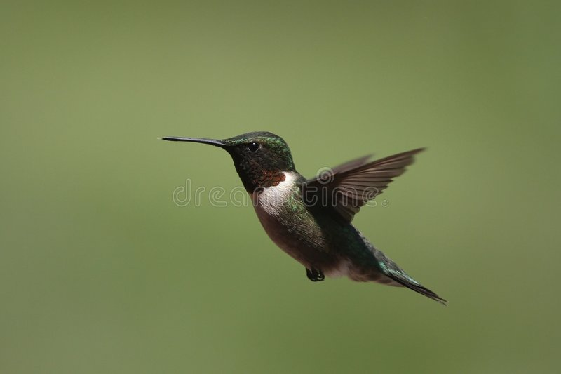 Download Ruby Throated Hummingbird Royalty Free Stock Photo - Image: 5211105