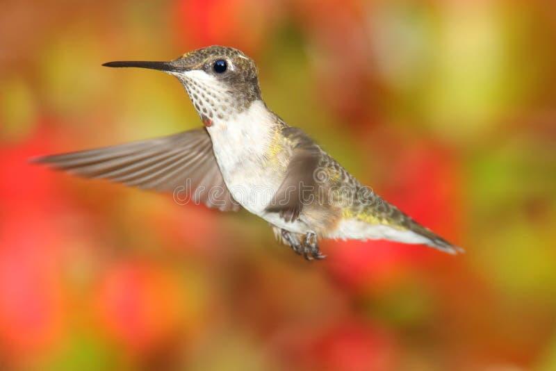 Ruby-Throated Hummingbird arkivfoton