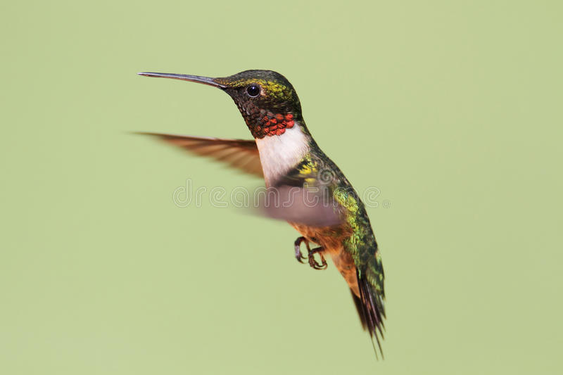 Download Ruby-throated Hummingbird (archilochus Colubris) Stock Image - Image: 25243019