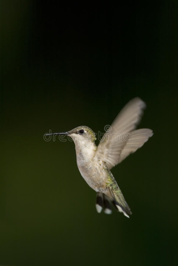 Download Ruby-throated Hummingbird (Archilochus Colubris) Stock Image - Image: 25436745