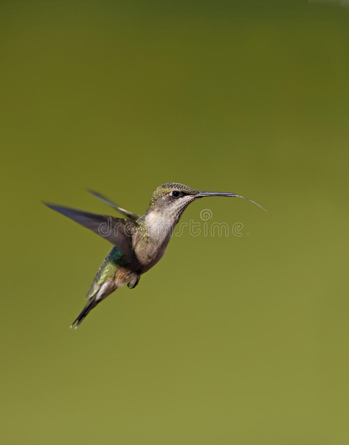 Download Ruby-Throated Hummingbird (Archilochus Colubris) Stock Image - Image: 26335999