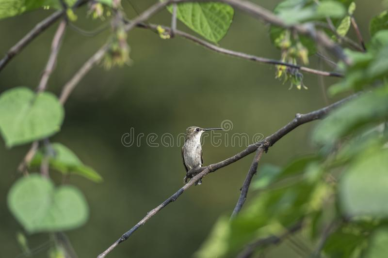 In the Morning Glory Thicket. Ruby-throated Hummingbird, Archilocus colubris, perched in the middle of a Morning Glory thicket, Ipomoea purpurea royalty free stock images