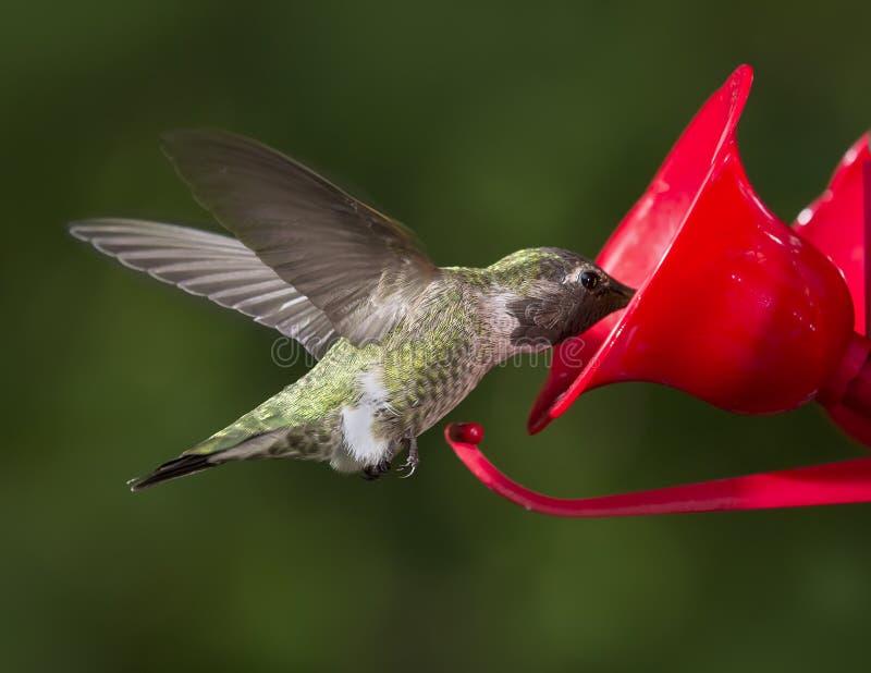 Ruby Throated Hummingbird (colubris d'Archilochus) t volant femelle photos libres de droits