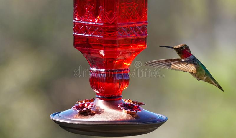 Ruby Throated Hummingbird dirige ao alimentador imagem de stock