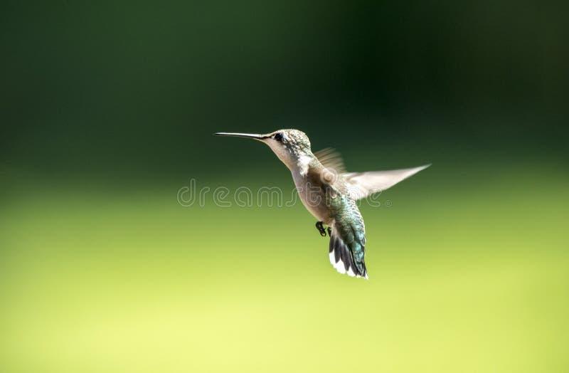Ruby Throated Hummingbird fêmea, Clarke County GA EUA imagens de stock