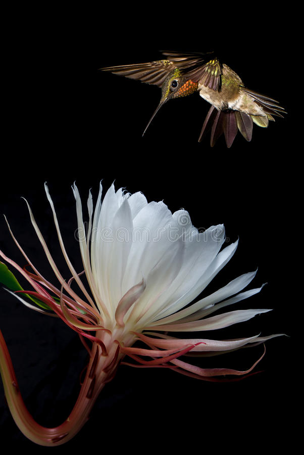 Ruby-throated hummingbird feeding from beautiful tropical flower. Hummingbird with tropical flower over black background vertical image royalty free stock photo