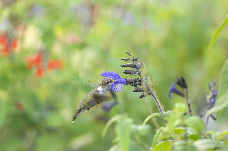 Ruby-throated Hummingbird Feeding in the Garden. royalty free stock images