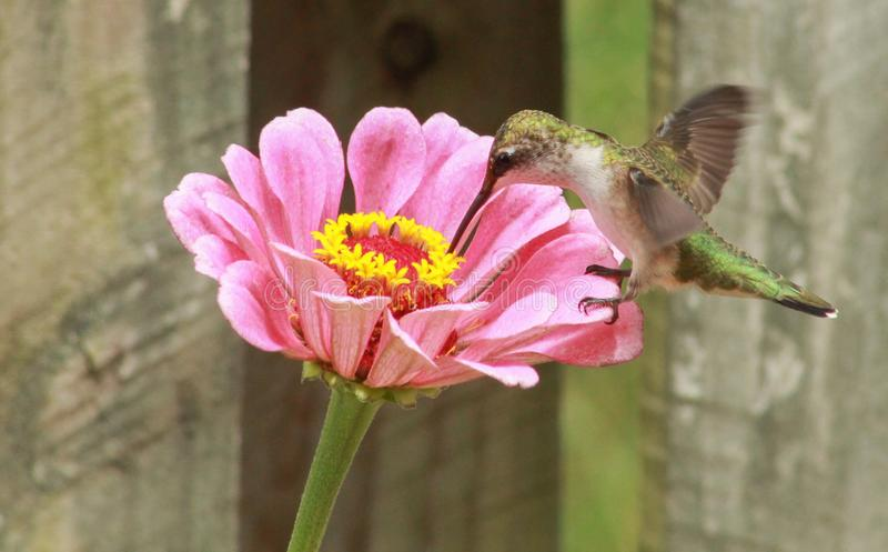 Ruby throated Hummingbird feeding at pink flower royalty free stock photo