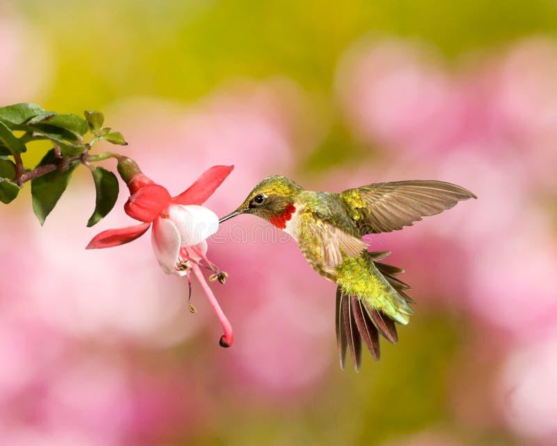 Ruby-Throated Hummingbird. A Ruby-throated hummingbird feeding on a small flower