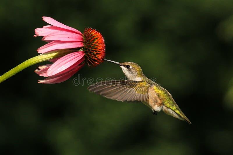 Ruby Throated Hummingbird Feeds From blomma royaltyfria bilder