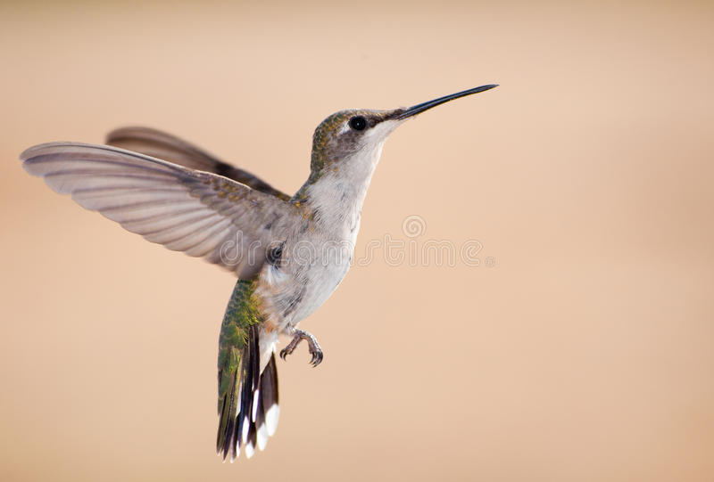 Ruby-throated Hummingbird in flight stock image