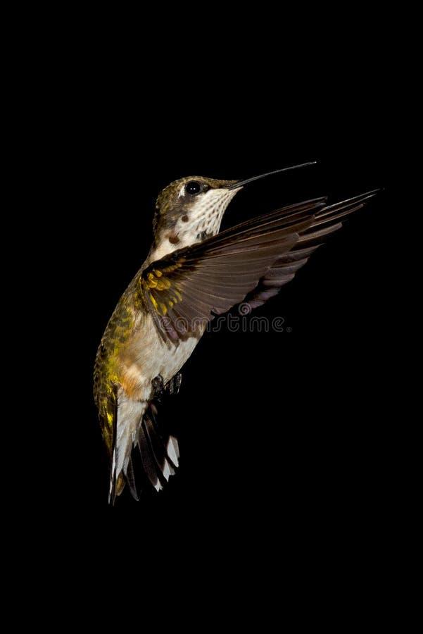 Ruby-throated Hummingbird royalty free stock photos