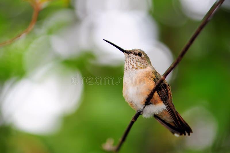 Download Ruby-throated Hummingbird (horizontal) Stock Image - Image: 25158099