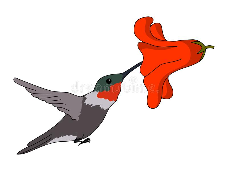 Ruby-Throated Hummingbird illustration vector. Isolated on white background royalty free illustration