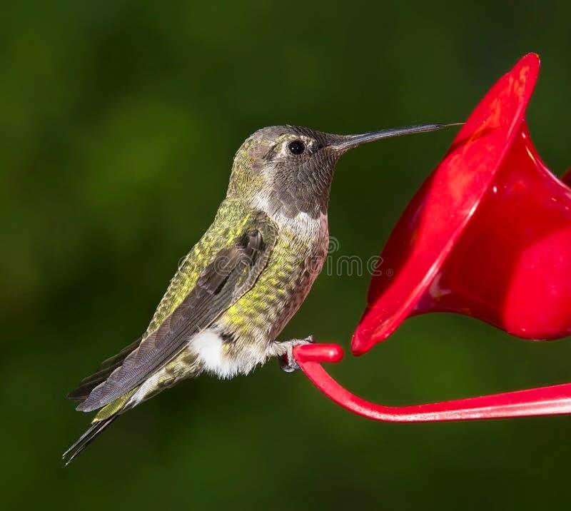 Ruby Throated Hummingbird (kvinnlig) sammanträde på förlagemataren fotografering för bildbyråer