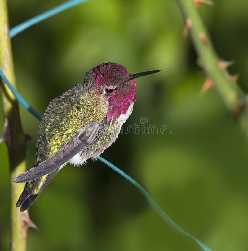 Ruby Throated Hummingbird (mâle) s'asseyant sur le fil de jardin photographie stock