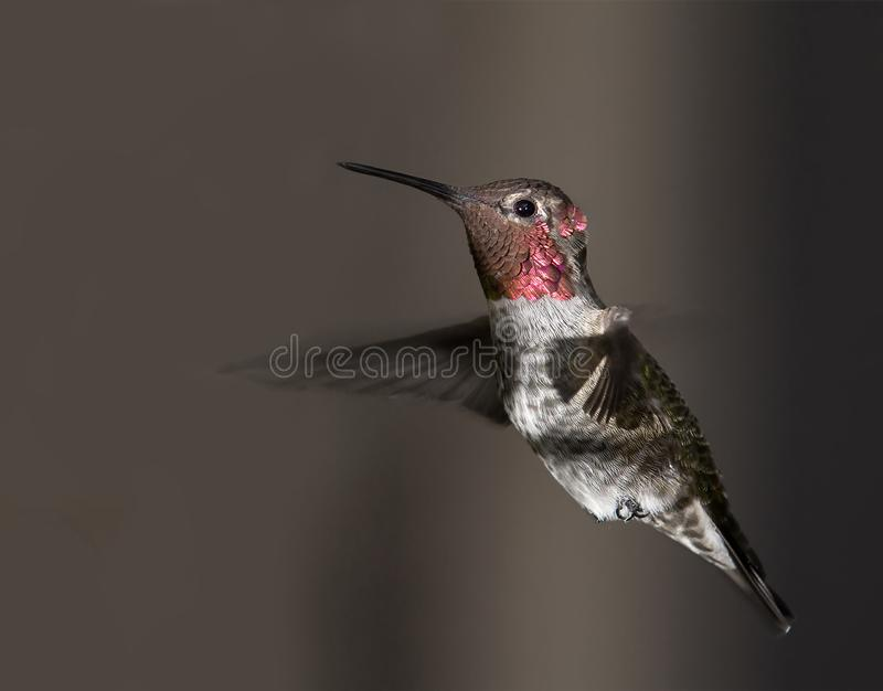 Ruby Throated Hummingbird male in flight stock image