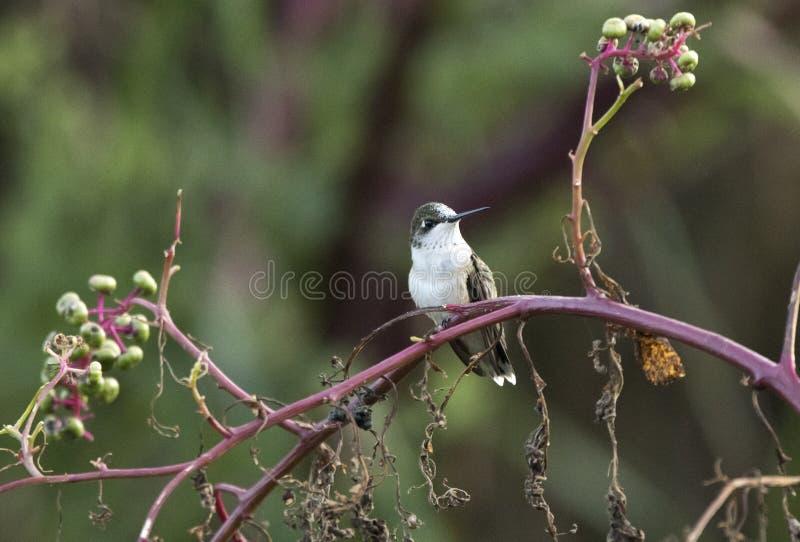 Ruby Throated Hummingbird sätta sig på pokeweeden, Georgia USA royaltyfri foto
