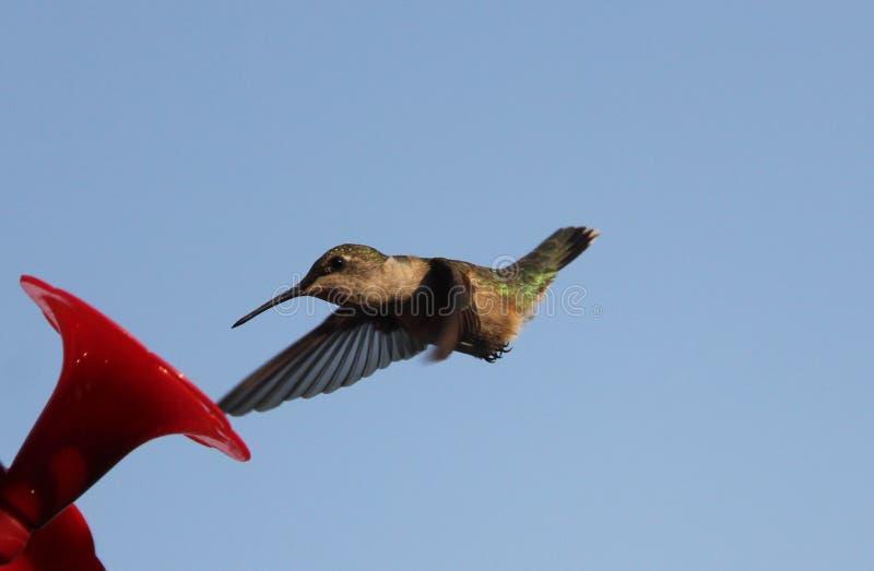 Ruby Throated Hummingbird South Central Manitoba royaltyfri foto