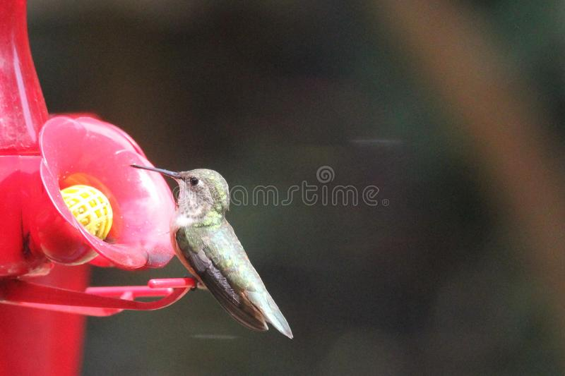 Ruby Throated Hummingbird South Central Manitoba arkivbild