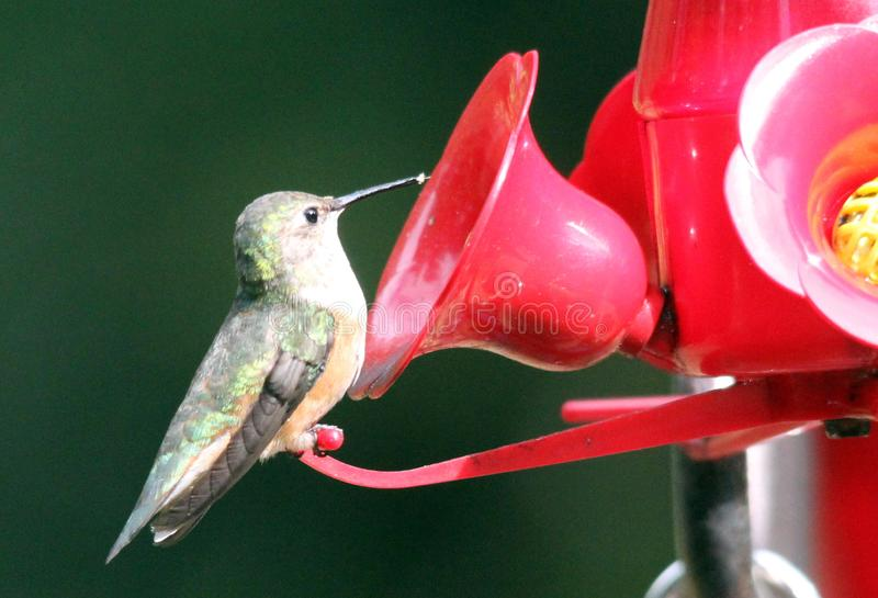 Ruby Throated Hummingbird South Central Manitoba arkivfoton