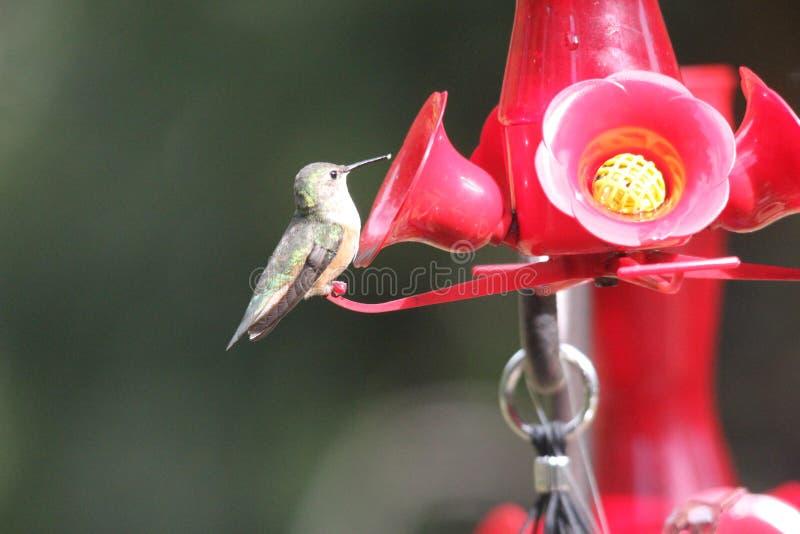 Ruby Throated Hummingbird South Central Manitoba arkivbilder