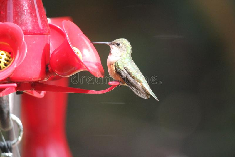Ruby Throated Hummingbird South Central Manitoba royaltyfri fotografi