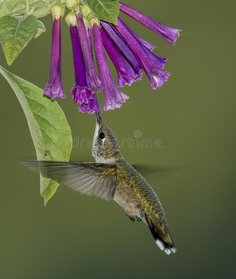 Ruby-throated Hummingbird and Violet Flowers. A Ruby-throated Hummingbird sipping on Violet Flowers as she hovers under them royalty free stock photo