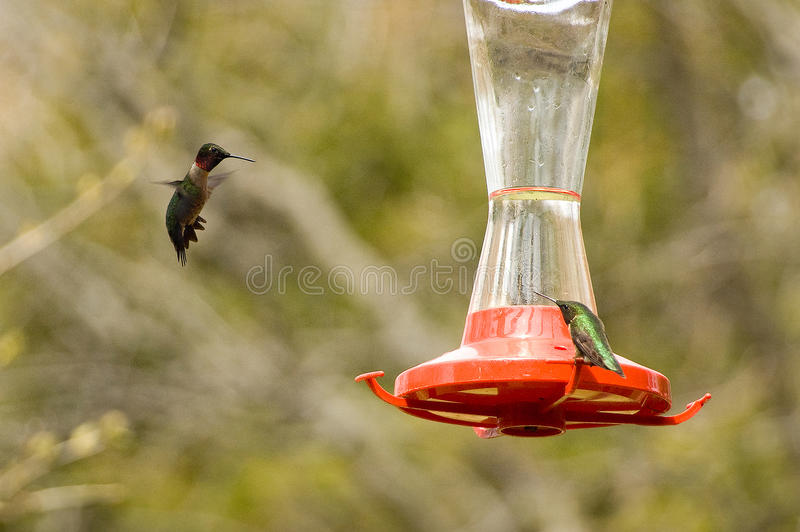 Download Ruby-throated Hummingbirds stock image. Image of outdoor - 9402195