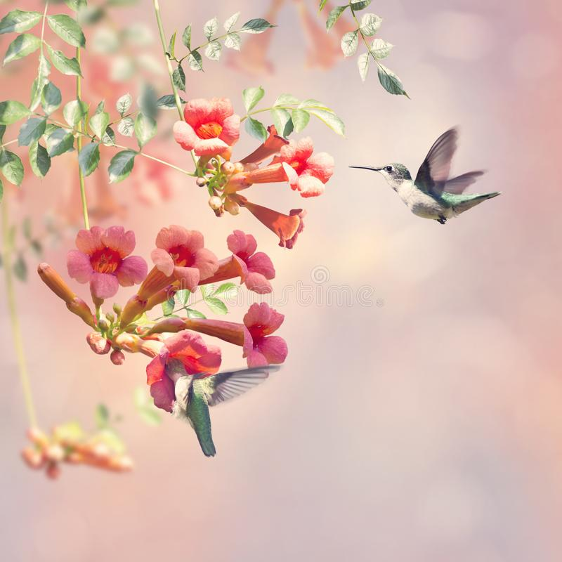 Ruby Throated Hummingbirds Hover Over Trumpet Vine. Ruby throated hummingbirds feed on nectar from a trumpet vine royalty free stock image