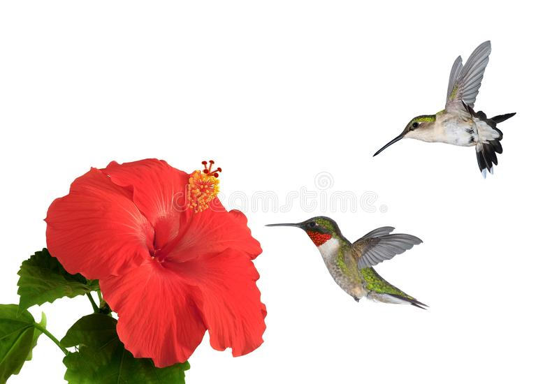 Ruby- throated Hummingbirds at Red Hibiscus Flowers stock photo
