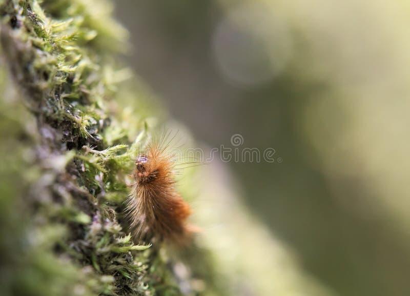 Ruby Tiger Caterpillar stock photography