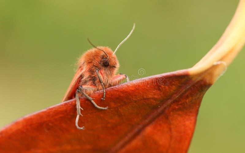 A Ruby Tiger Moth Phragmatobia fuliginosa perched on a leaf. royalty free stock photography