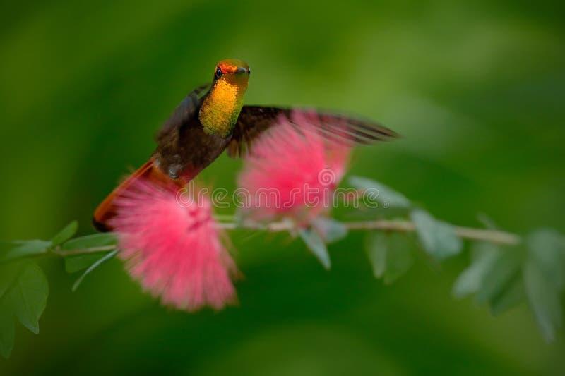 Ruby-Topaz Hummingbird bonito do voo de Tobago ao lado da flor cor-de-rosa bonita, fundo verde do espaço livre foto de stock royalty free
