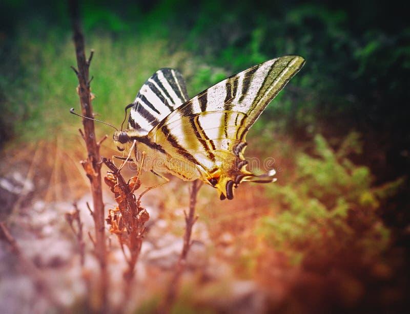 ruby wings royaltyfri foto