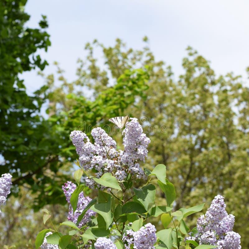 ruby wings Vit segelbåt för fjäril på blommorna av lilan arkivbild