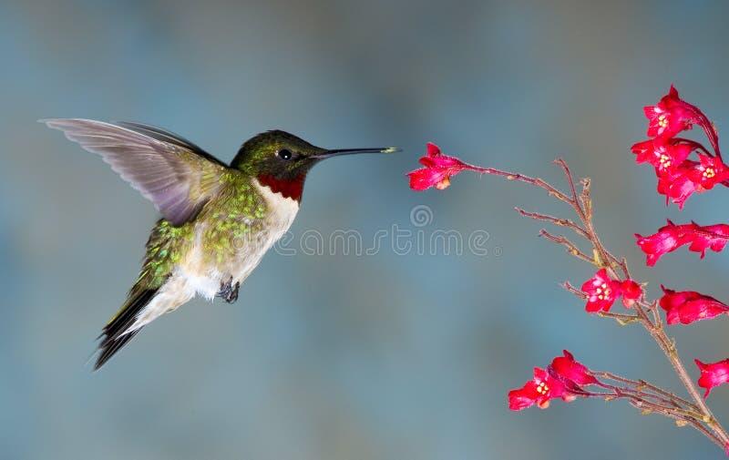 rubythroated hummingbird arkivbilder