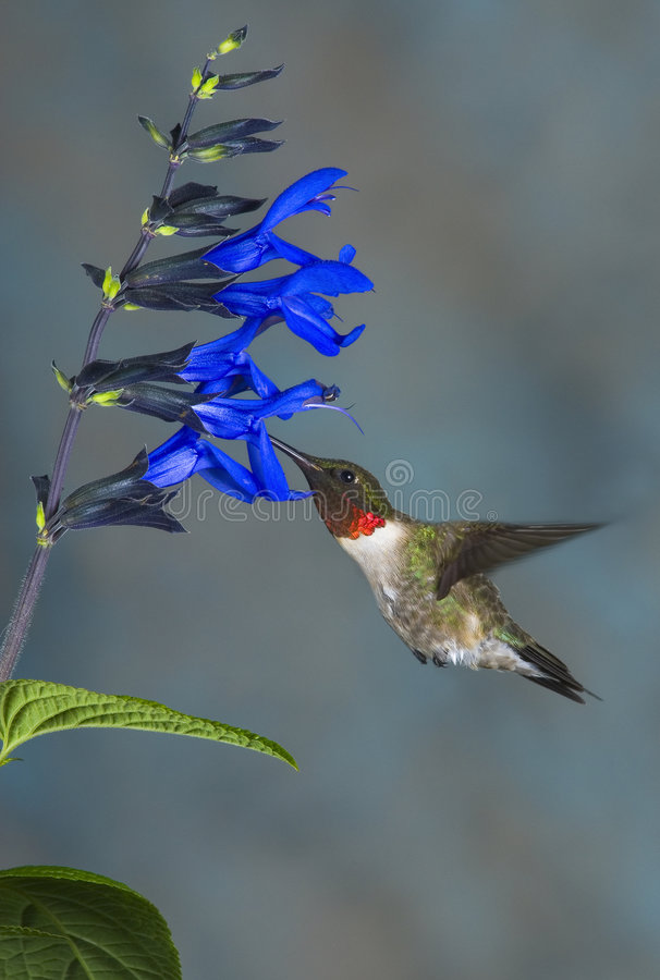 Rubythroated Hummingbird on Blue Salvia Blooms stock images