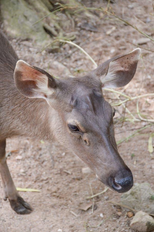 Rucervus eldii鹿 免版税图库摄影